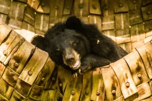Sleepy moon bear