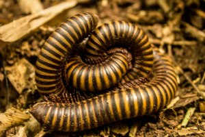 Millipede Love In