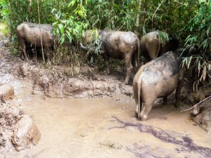 Water buffalo bathing in our trail