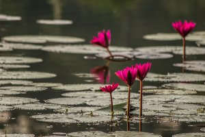 Lotus flowers at Angkor Wat.