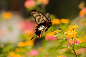 The amazing butterflies of Laos