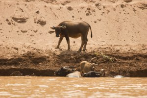 Water buffalo enjoying the river