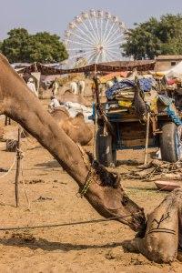 Camel or giraffe?