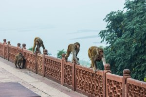 Monkey school field trip to the Taj.