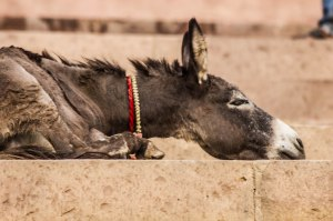 Sleepy donkey.