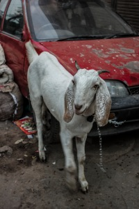 A goat tied to a car. Why not?