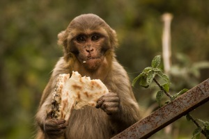Chapati-loving monkey.