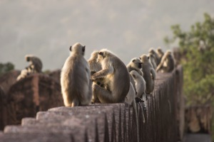 Langurs everywhere!